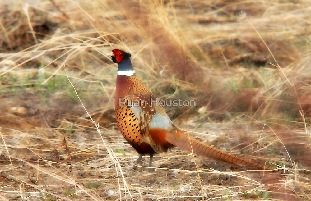 Pheasant - Early Spring by Ryan Houston