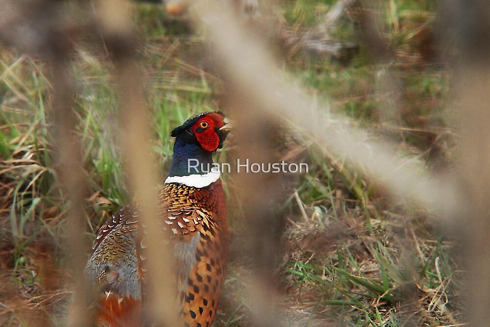 Pheasant - Peek-a-Boo by Ryan Houston