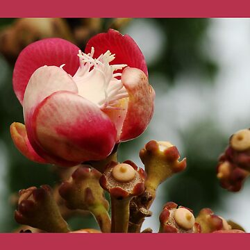 Cannonball flower by PeaceM