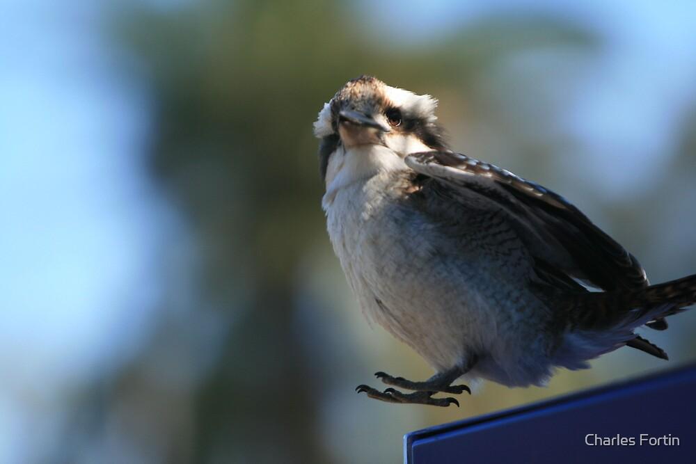Kookaburra Bird by Charles Fortin