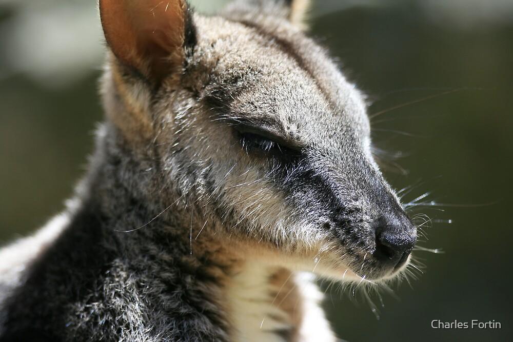 Relaxing Kangaroo by Charles Fortin