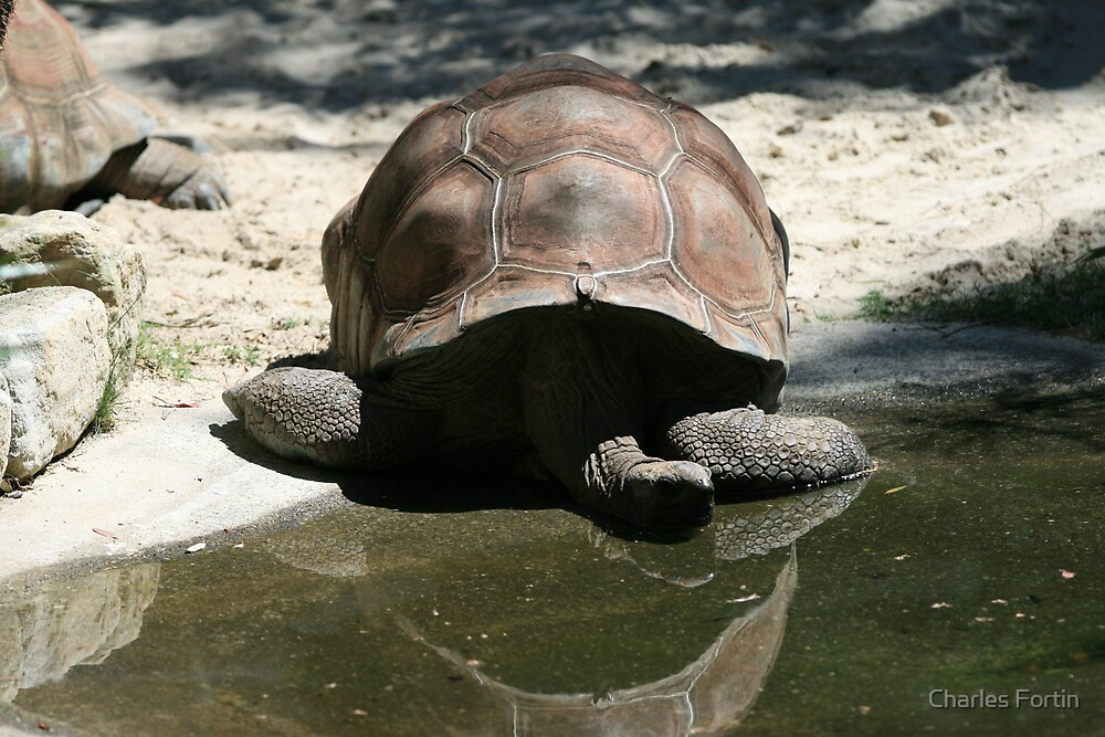 Relaxing Turtle by Charles Fortin