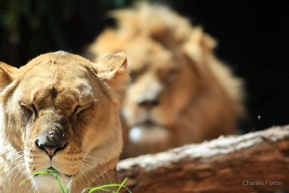 Relaxing Lions by Charles Fortin