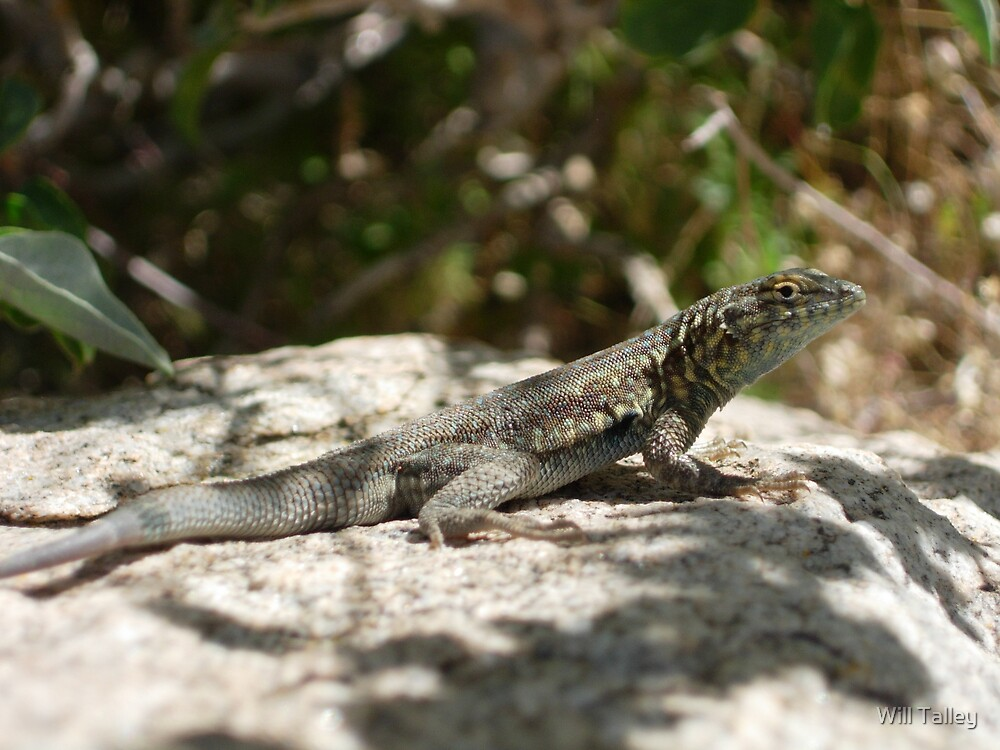 Lizard by Will Talley