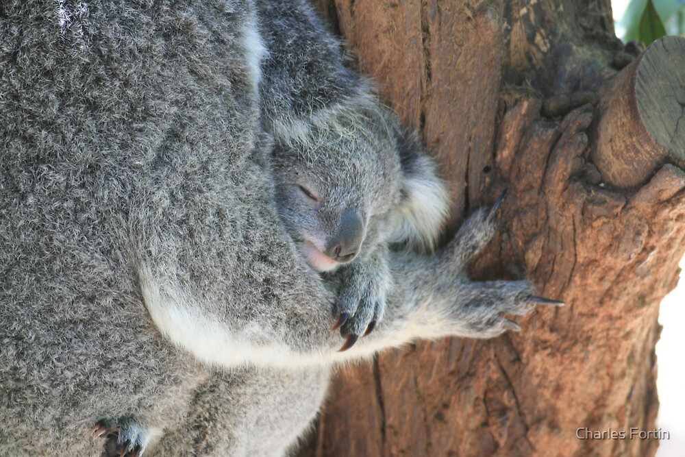 Relaxing Baby Koala by Charles Fortin