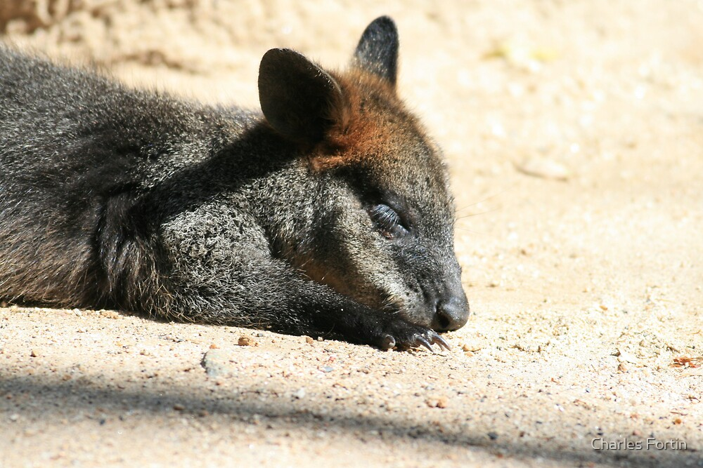 Relaxing Wallaby by Charles Fortin