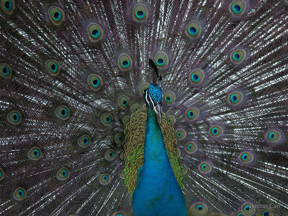 Peacock by Jimson Carr