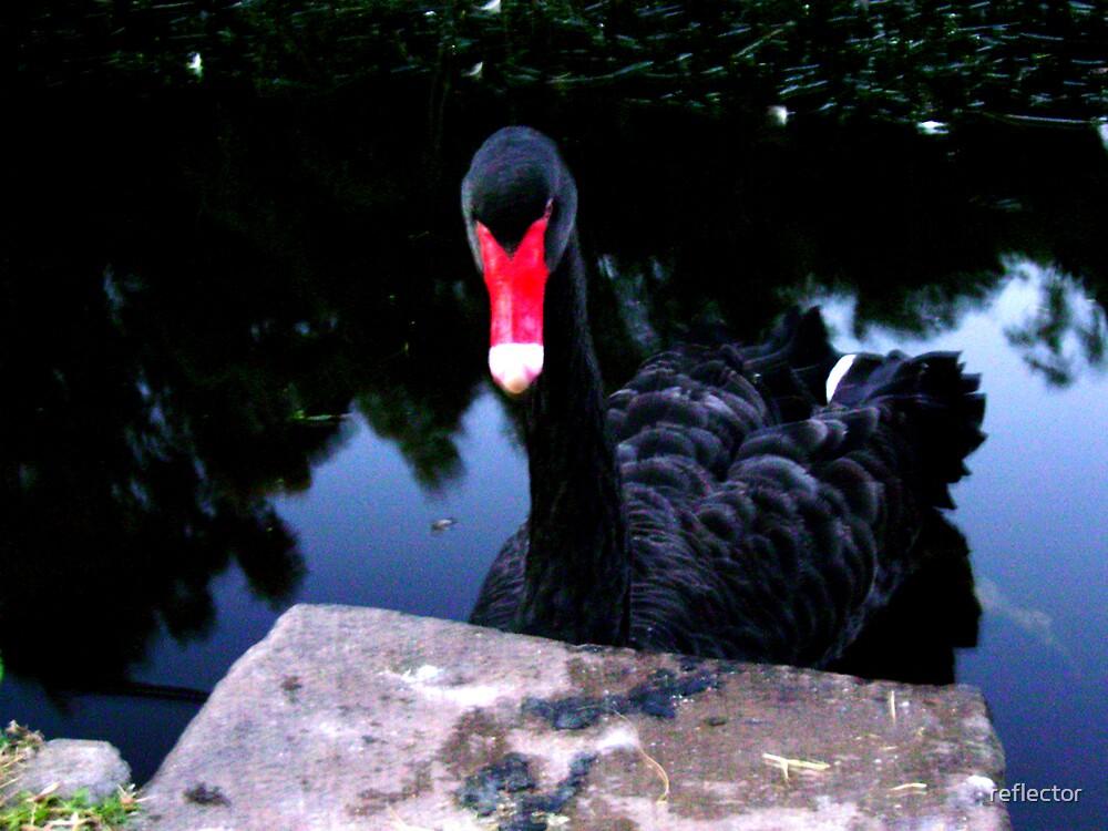 A Swan by reflector