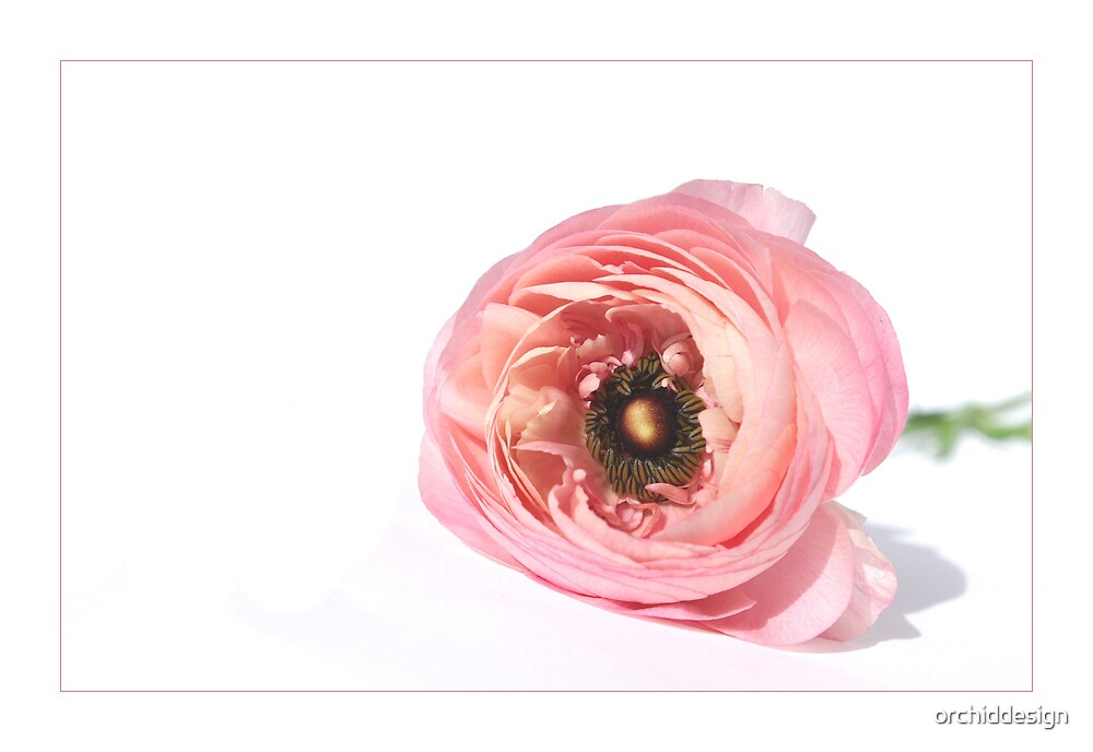 Pink Ranunculus by orchiddesign