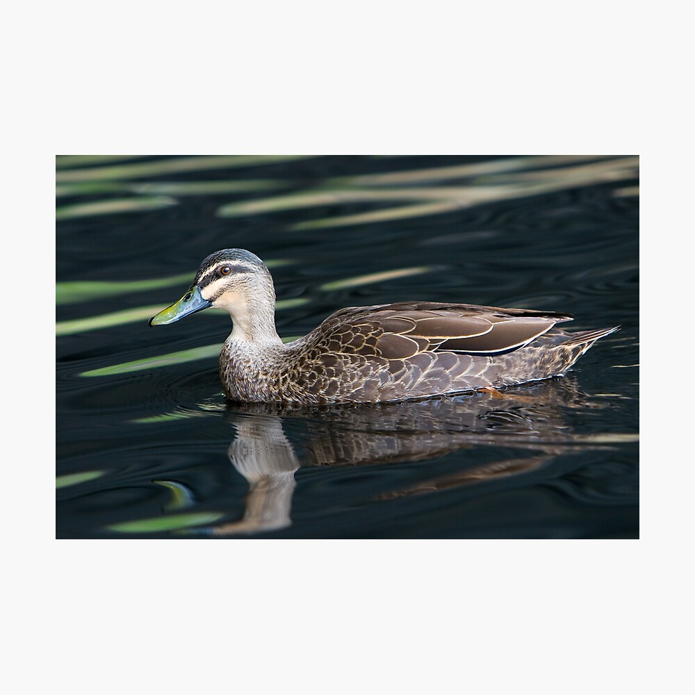 Duck shooting RedBubble Style. Photographic Print