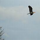 The elusive heron by dougie1