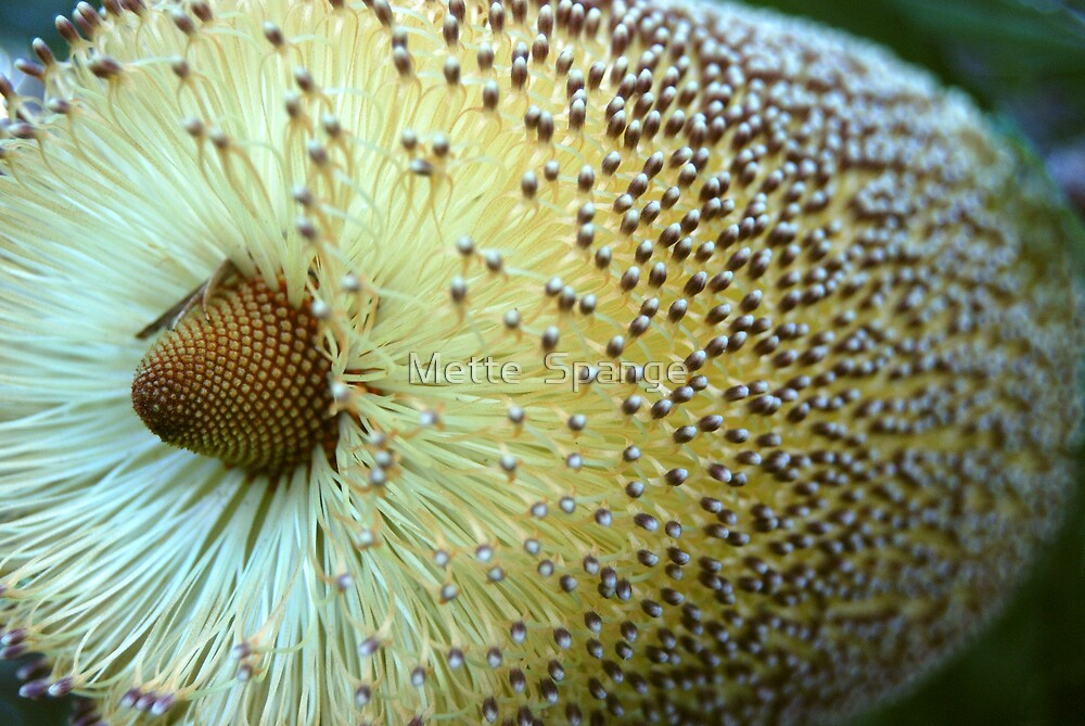 Banksia by Mette  Spange