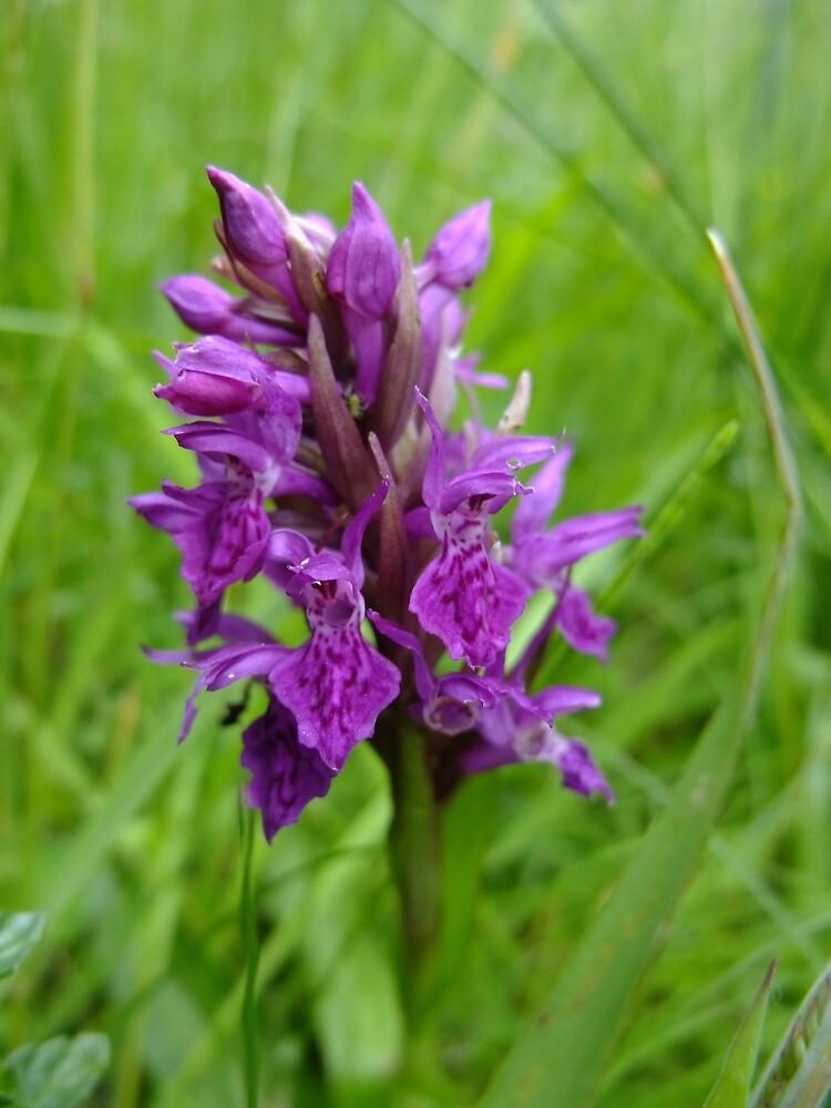 Northern Marsh Orchid (Dactylorhiza purpurella) by IOMWildFlowers