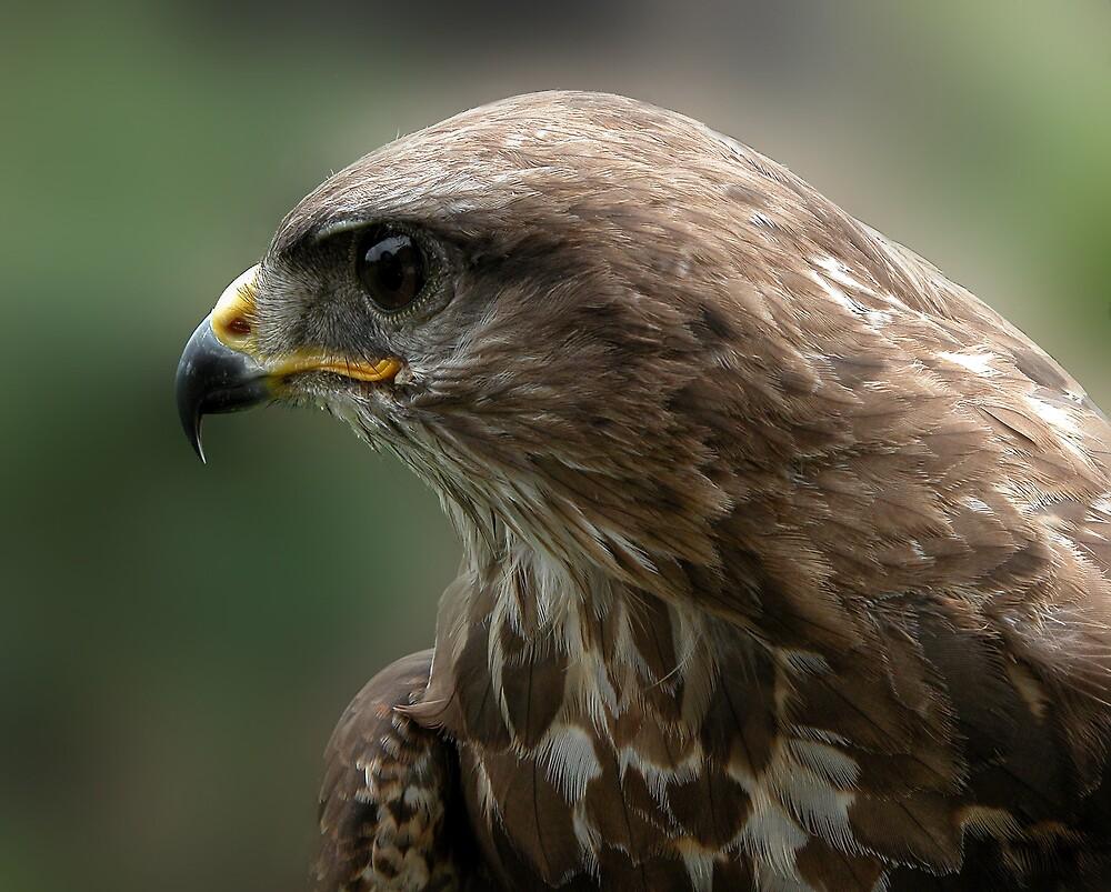 the eyes off a hawk by sjef
