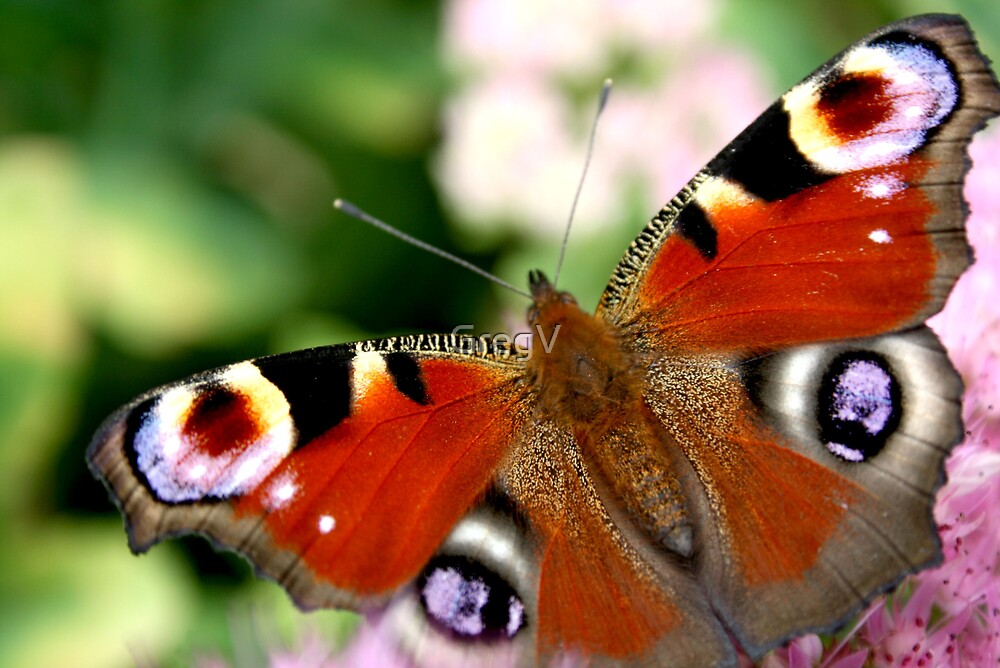 Peacock Butterfly by GregV