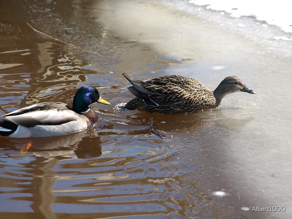 NC Cold ducks by Albert1000