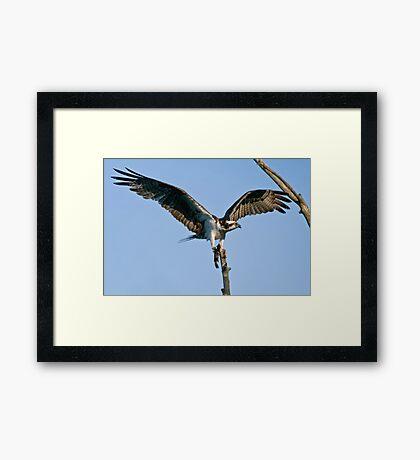 Osprey - Ottawa, Ontario Framed Print