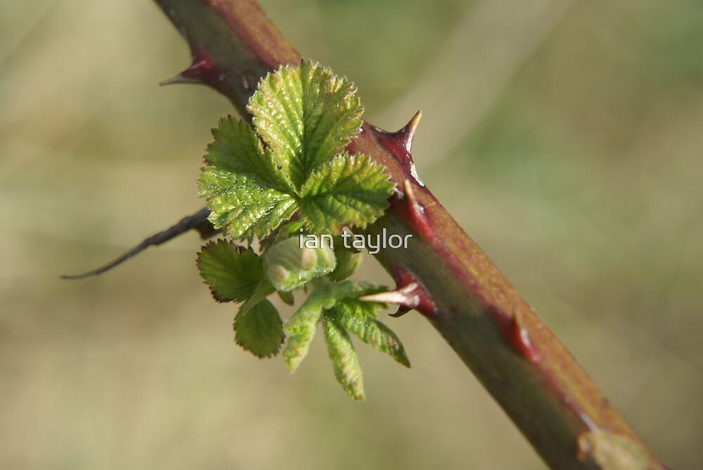 bramble leaf by ian taylor