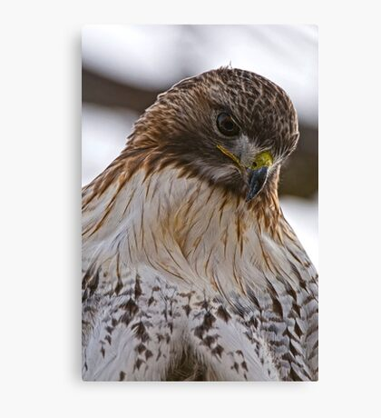 Red Tailed Hawk Portrait - Presqu'ile Park Canvas Print