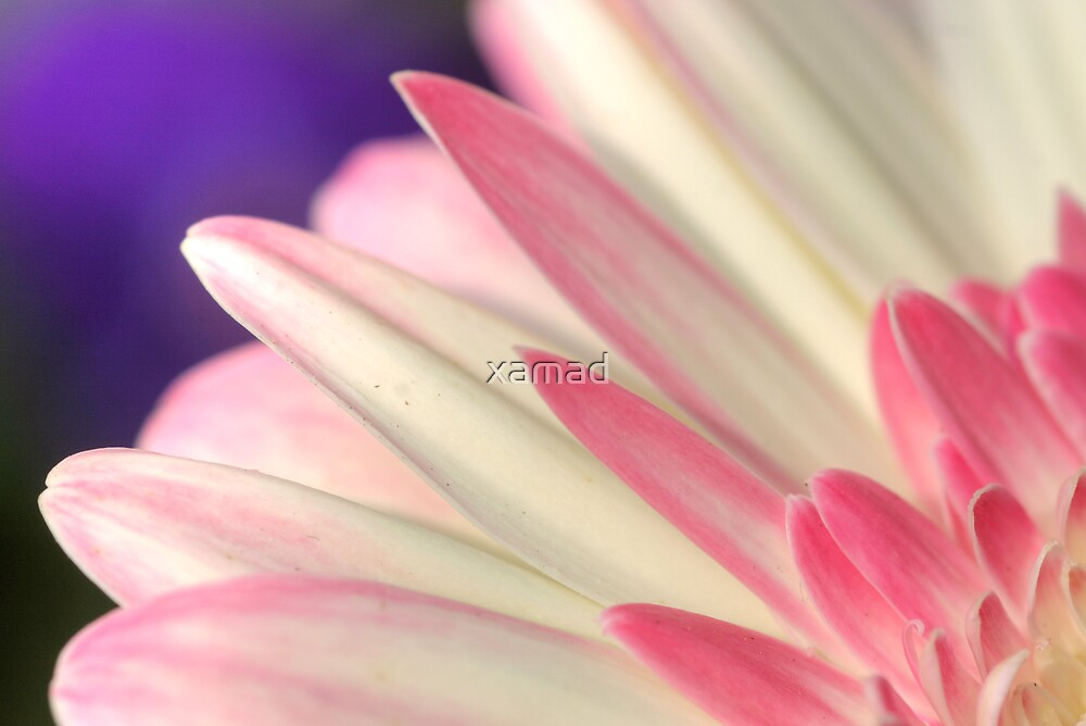 white and pink petals  by xamad