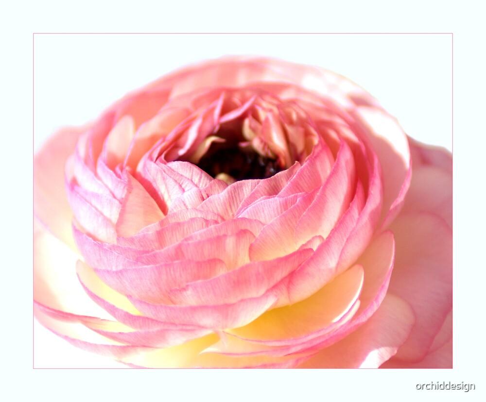 Pink Ranunculus by orchiddesign