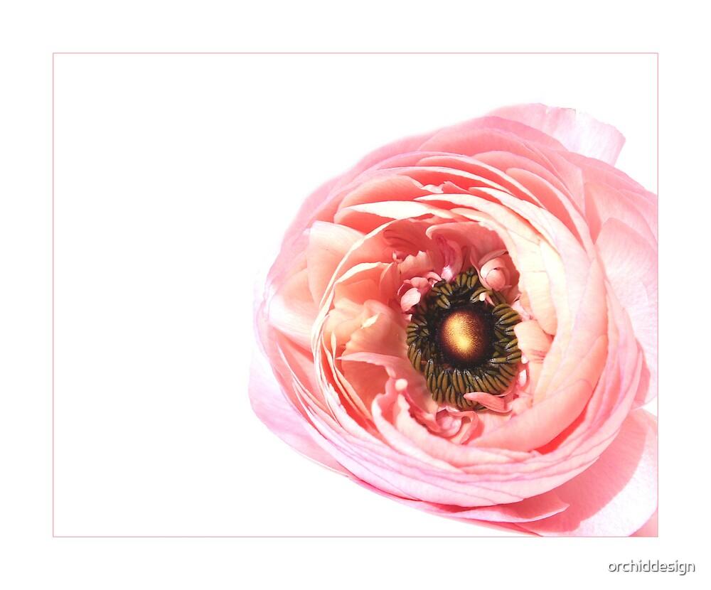 Ranunculus Bloom by orchiddesign
