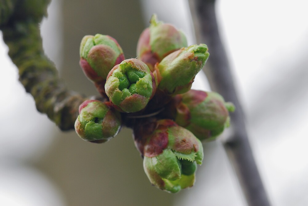Leaves in bud by westie71