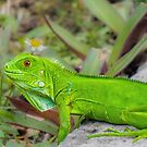 Young Green Iguana by Owed To Nature