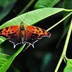 Question Mark butterfly_upperside  by Poete100