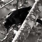 Dark blackbird by Jerry  Mumma