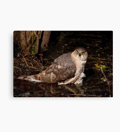 Coopers Hawk- Ottawa, Ontario Canvas Print