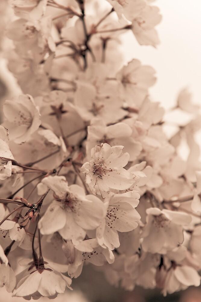 桜  - Cherry Blossom II by shadow2