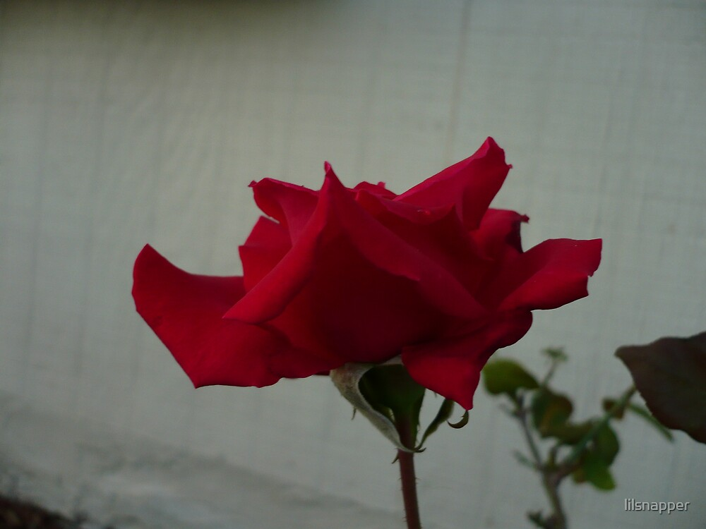 """""""Roses are Red"""" by lilsnapper"""