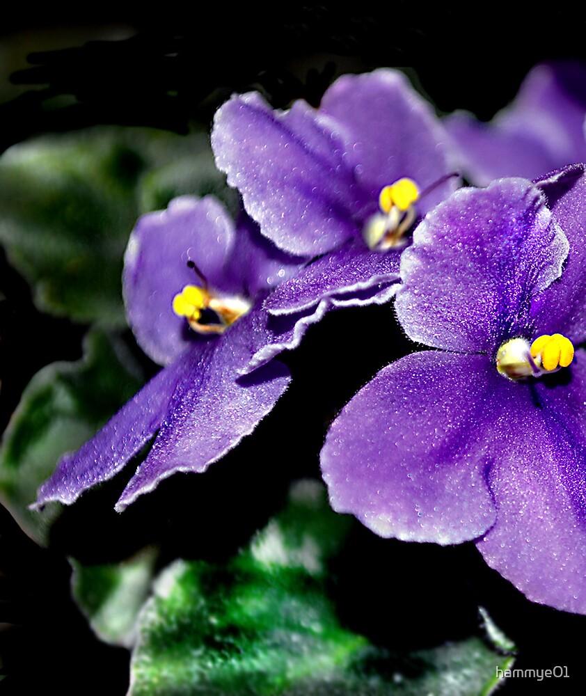 African Violet by hammye01
