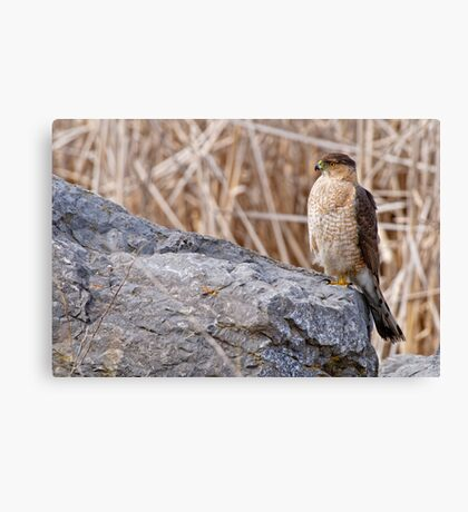 Coopers Hawk - Ottawa, Onterio Canvas Print