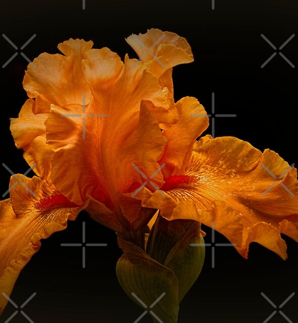 Apricot Iris #2 by Elaine Teague