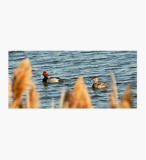 Redhead Drake & Hen - Utah Waterfowl Photographic Print
