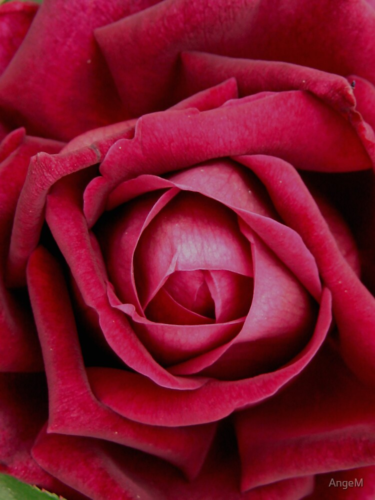 Love is a rose by AngeM
