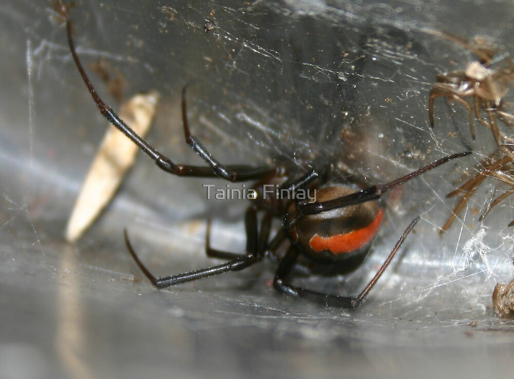 Female Redback Spider by Tainia Finlay