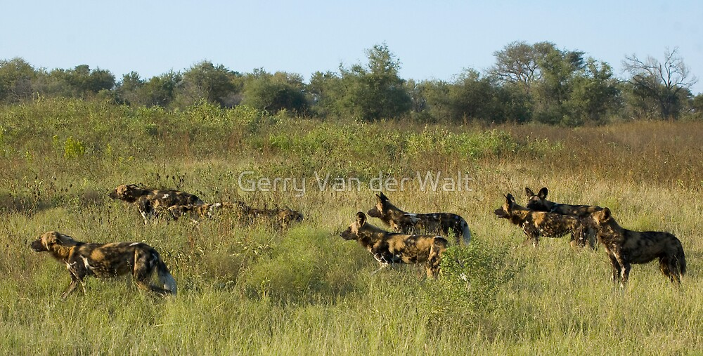 Wild Dog Hunt by Gerry Van der Walt