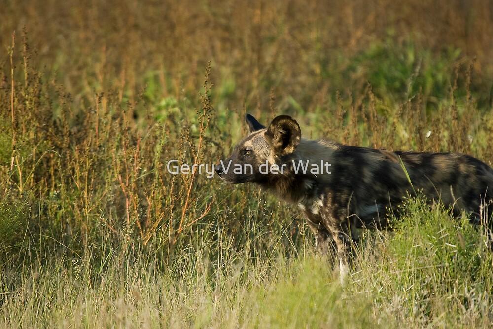 Wild Dog in Grass by Gerry Van der Walt
