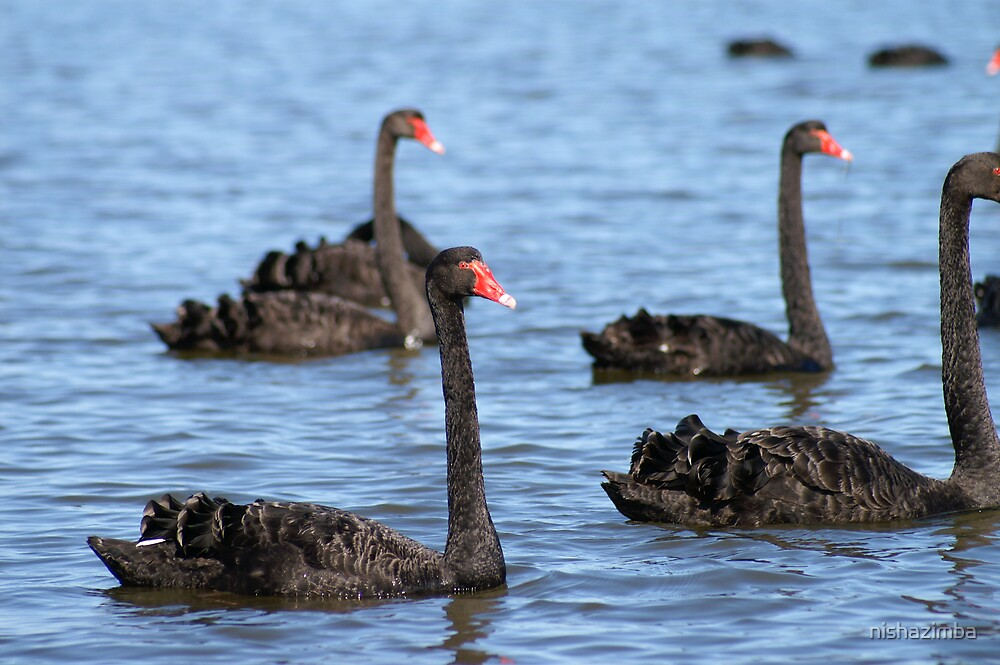 Black Swans by nishazimba