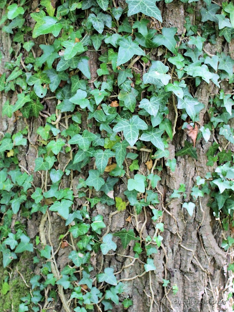 Ivy leaves on Oak tree by chihuahuashower
