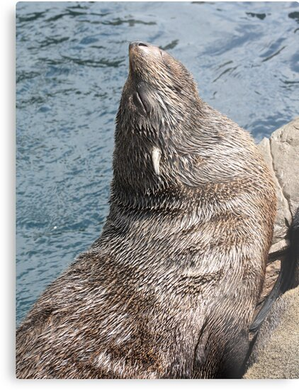 South American Fur Seal by Marc Johnson