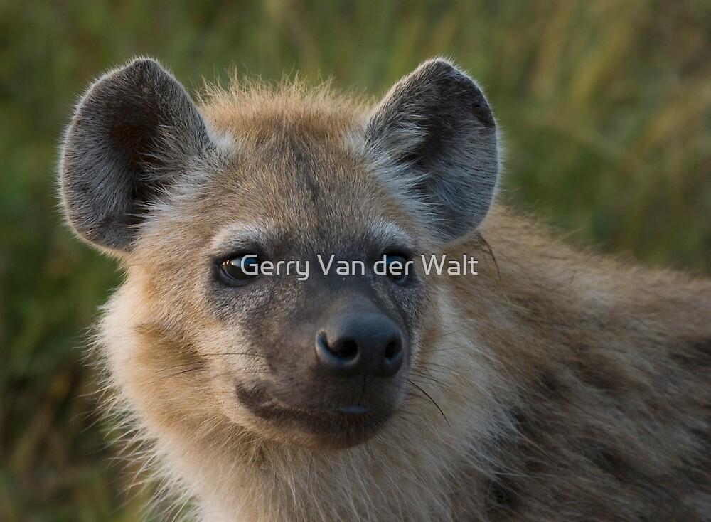 Young Hyena by Gerry Van der Walt