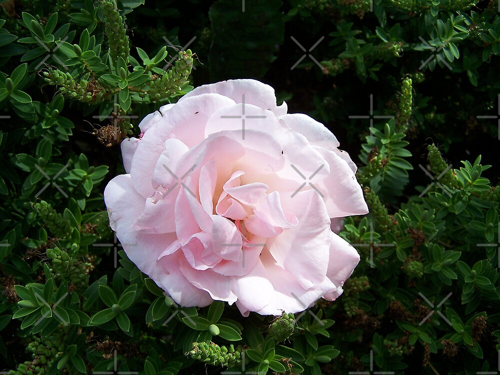 Delicute Bloom ..a rose of pale pink by LoneAngel