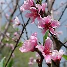 Peach Blossoms #2 by Cathy Jones
