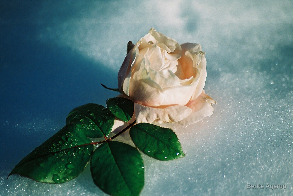 Frozen rose by Bente Agerup
