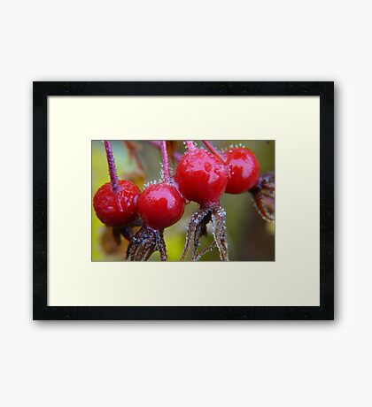 Winter Apples,(Frosted Rose-hips) Framed Print