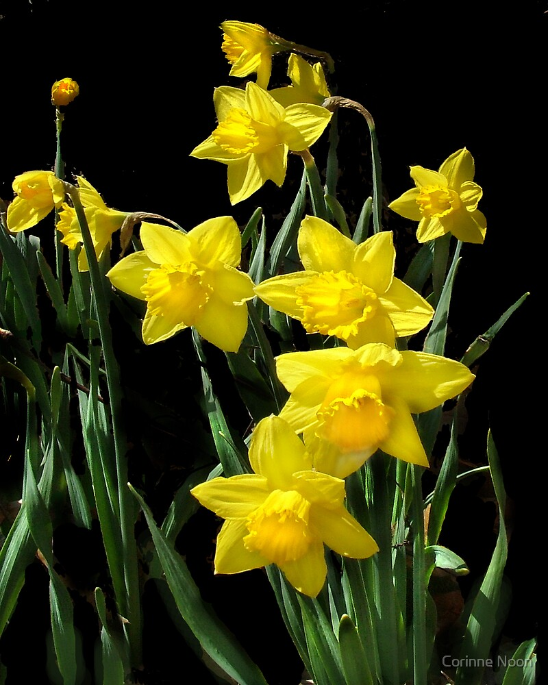 Daffodills by Corinne Noon